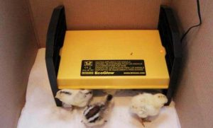 Brinsea EcoGlow 20 Chick Brooder reviews