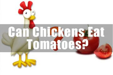 Can Chickens Eat Tomatoes-thumnail
