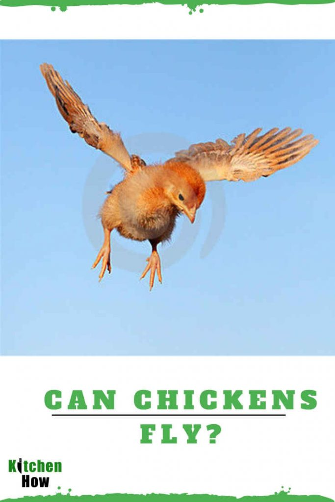 How long and far can chickens fly?