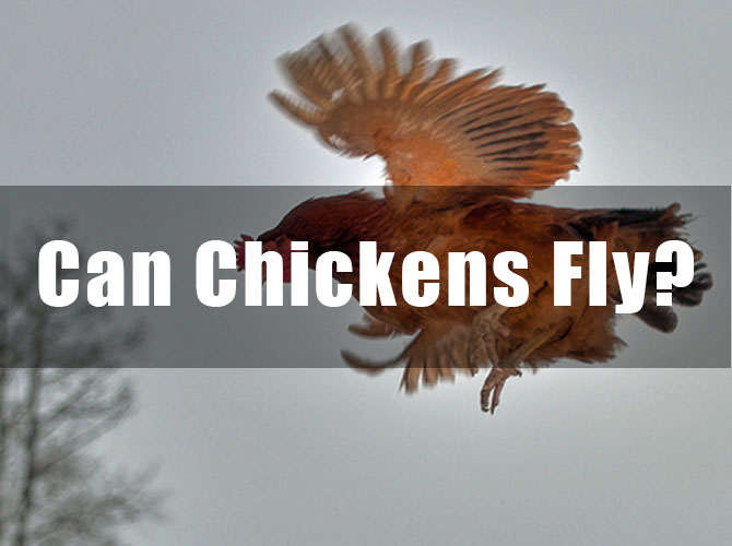 Can Chickens Fly? How high can chickens fly