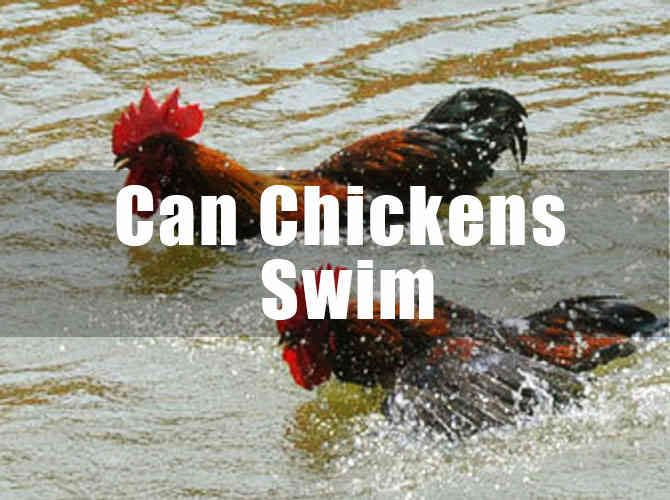Can Chickens Swim? How Well Can They Swim? Fact you should know