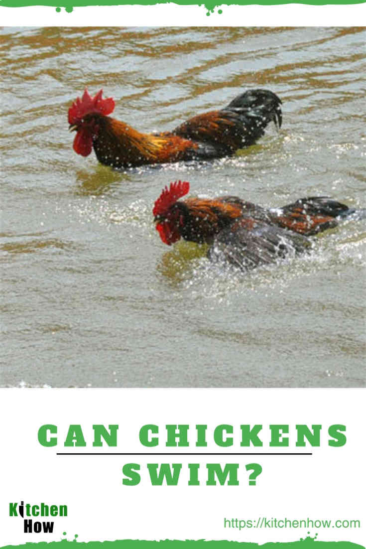 Can your Chickens Swim