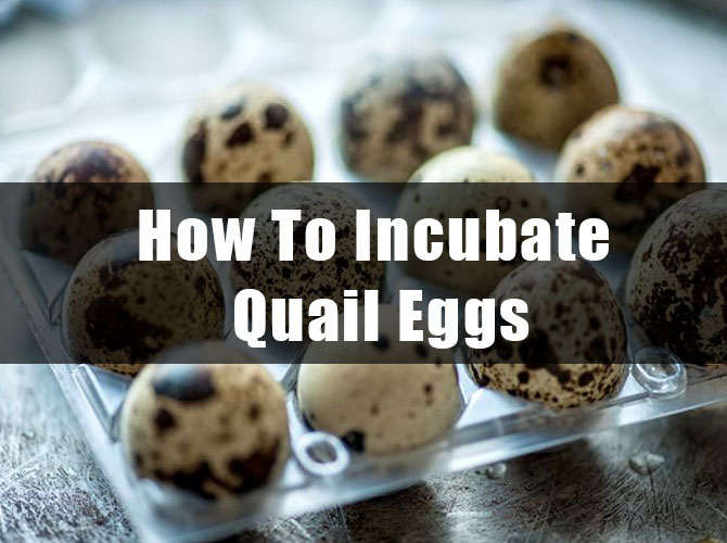How To Incubate Quail Eggs thumbnail