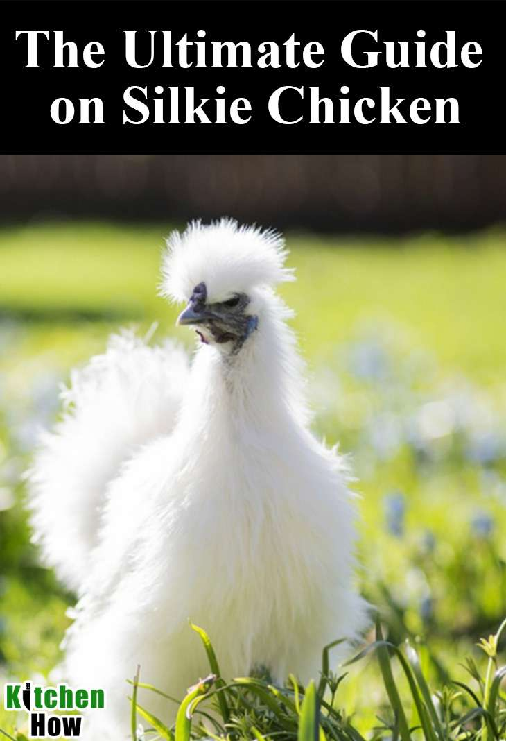 The Ultimate Guide on Silkie Chicken