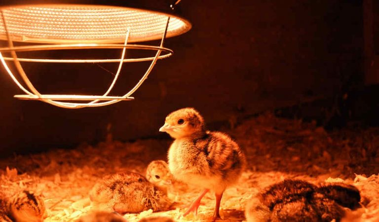 Best heat lamps for chickens