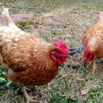 20 Best Egg Laying Chicken Breeds That Will Lay Lots of Eggs for You (Up To 300 Per Year)