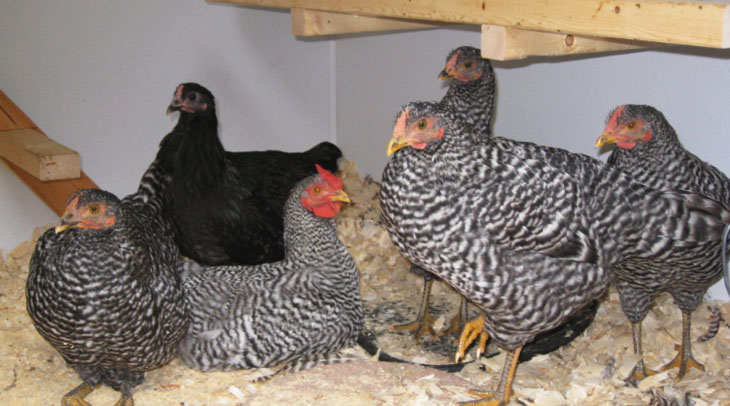 Dominique hens laying eggs