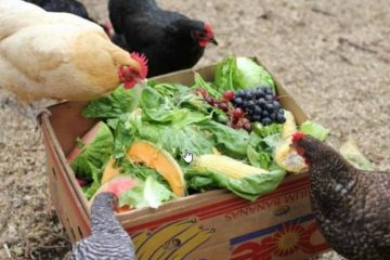 what can chicken eat